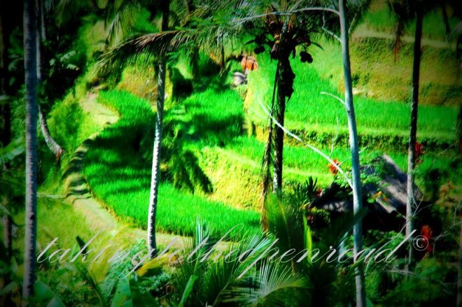 Rice_fields_Tegallang_Ubud